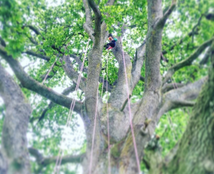 Topping out in the big oak tree