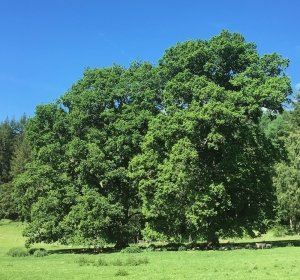 Bowhills great oak trees in full leaf with sheep